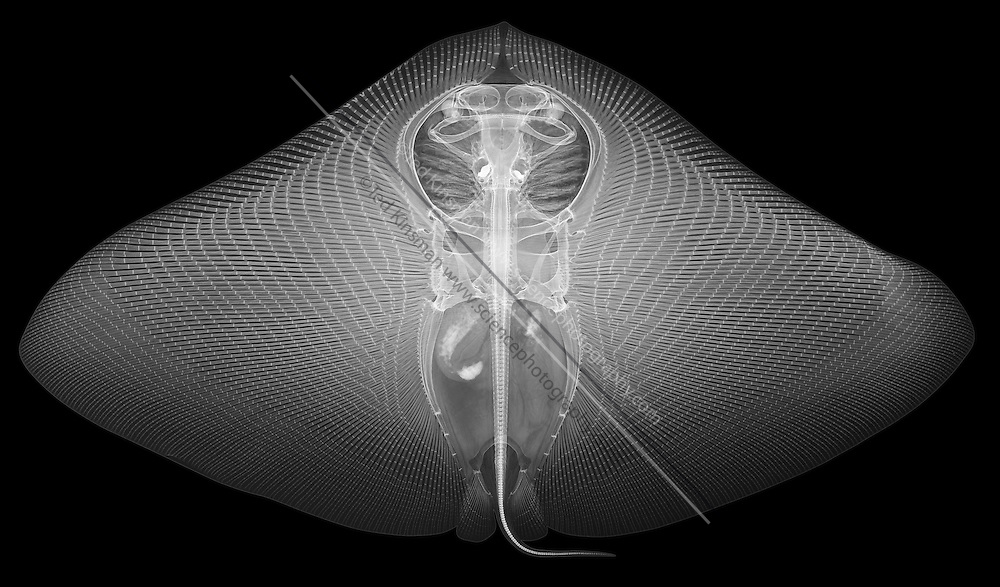 X-ray of a Smooth Butterfly Ray (Gymnura micrura).Common English names for this species include: lesser butterfly ray, diamond skate, butterfly ray, short-tailed lesser butterfly ray, and skeete.  The smooth butterfly ray is found in the western and eastern Atlantic Ocean and in the Gulf of Mexico. In the western Atlantic it occurs from Maryland to Brazil. It occurs in the Gulf of Mexico and northern South America to Brazil. It also occurs in the eastern Atlantic off the coasts of Senegal, Gambia, Sierra Leone, Cameroon and Democratic Republic of the Congo.
