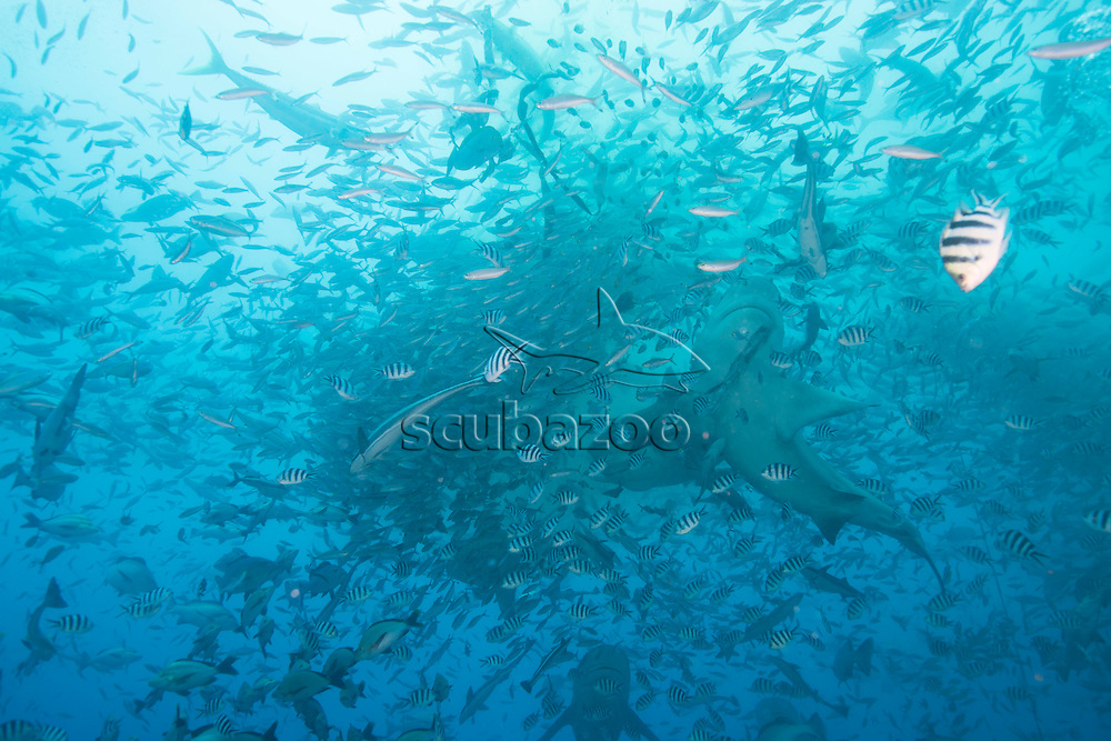 Fish Frenzy, Lake Reef, South Pacific, Fiji,