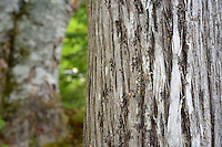 Close up of elm tree bark in forest, Cutler Maine.