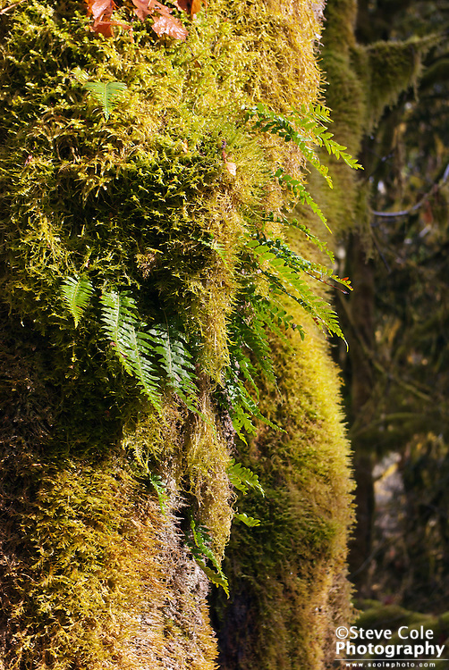 Moss with Fern - North Fork Nooksack River Valley