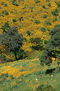 GONDAR/ETHIOPIA..On the road from Gondar to Bahar Dar..Yellow Meskal flowers..(Photo by Heimo Aga)