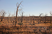 Trees damaged by wildfires, Mesa Verde National Park, Montezuma County, Colorado, USA. In 1996-2003 after a long period of drought, wildfires destroyed more than half of the area of the park, including buildings and archaeological sites. Despite the damage, the destruction of vegetation also meant that many more sites were revealed. Mesa Verde is the largest archaeological site in America, with Native Americans inhabiting the area from 7500 BC to 13th century AD. It is listed as a UNESCO World Heritage Site. Picture by Manuel Cohen