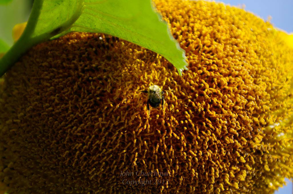 close up of bumblebee on sun flower