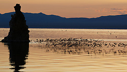 Flock of water fowl fly above water during sunrise at South Tufa, Mono Lake, California, United States of America