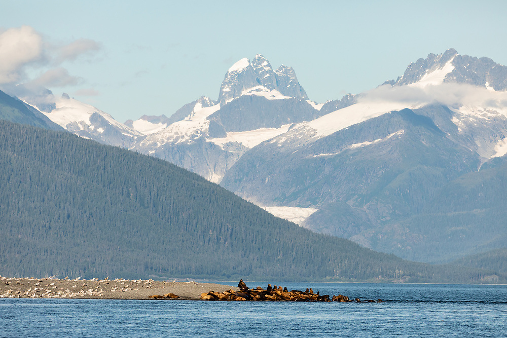 Steller Sea Lions (Eumetopias jubatus) hauled out on Lincoln Island in Southeast Alaska. Summer. Evening.