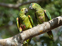 Pair of Blue-fronted Amazon Parrots (Amazona aestiva) perched in a tree, The Pantanal, Mato Grosso, Brazil