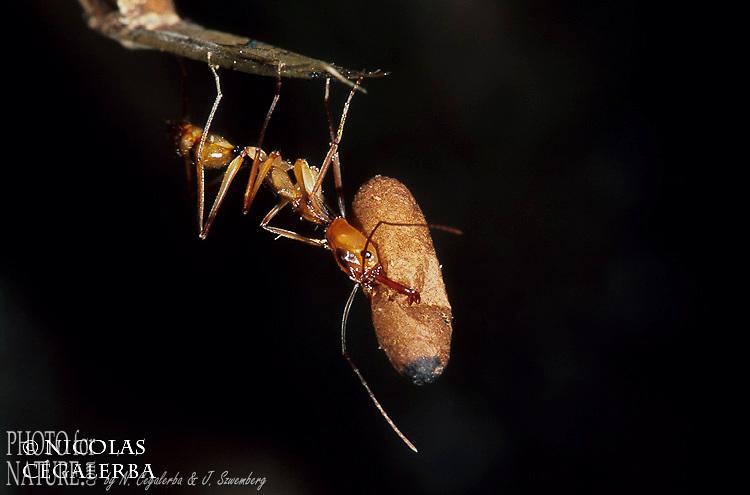 FOURMI PROTEGEANT UN OEUF, Odontomachus astatus, Guyane Française