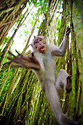 Crab-eating Macaque (Macaca fascicularis), Ubud, Bali, Indonesia<br />