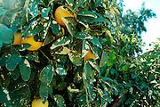 Israel, Sharon district, Citrus Grove, Magnesium deficiency symptoms on orange leaves