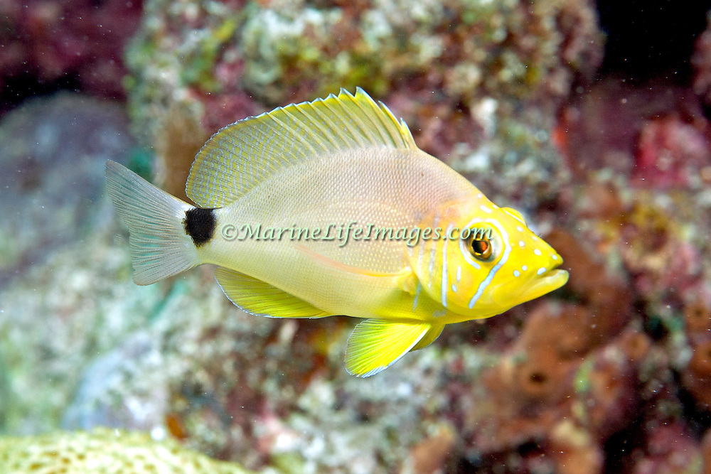 Butter Hamlet inhabit reefs in Tropical West Atlantic; picture taken Key Largo, FL.