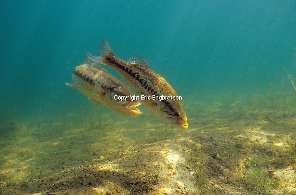 Largemouth Bass spawning<br /> <br /> ENGBRETSON UNDERWATER PHOTO