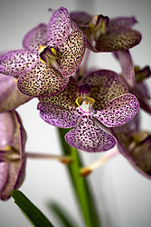 Purple Spotted Vanda Orchid #4