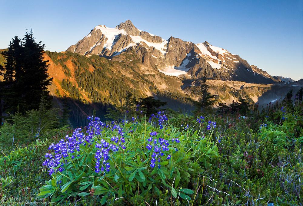 Subalpine Lupines (Lupinus arcticus ssp. subalpinus) on Kulshan Ridge with Mount Shuksan in the background - Mount Baker Wilderness, Washington State, USA.