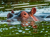 Extreme close-up of a hippo, Kazinga Channel, Uganda. <br /> <br /> The Kazinga Channel in Uganda is a wide, 32-kilometre (20 mi) long natural channel that links Lake Edward and Lake George, and a dominant feature of Queen Elizabeth National Park. The channel attracts a varied range of animals and birds, with one of the world's largest concentration of hippos and numerous Nile crocodiles.