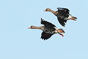 Greater White-fronted Geese, Anser albifrons, Yukon Delta NWR, Alaska