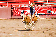 31 AUGUST 2007 -- PHOENIX, AZ: A competitor in the jineteo de toros --  Mexican bull riding in which the charro rides until the bull stops bucking at the Congreso y Campeonato Nacional Charro in Phoenix, AZ, Friday, August 31. The event is the US championship for the Mexican Federacion Mexicana de Charreria. The winners of the US championship go on to compete in the Mexican Charreada championships in Morelia, Michoacan, Mexico in October. Charreadas are Mexican style rodeos that are popular in Mexican communities throughout the US. As the Mexican immigrant community has expanded throughout the US, the sport has expanded with it. Charreadas are now held as far north as Minnesota and along the US - Mexico border.   Photo by Jack Kurtz