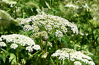 Giant Hogweed (Heracleum mantegazzianum), Gabriola, British Columbia, Canada. Hogweed is a poisonous plant which has caused photosensitization in children after exposure to the plant followed by sunlight. Also may cause dermatitis after contact.