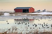 Waterfowl swim on a semi-frozen farm pond.