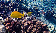 """Yellow tang in Kealakekua Bay. The yellow tang, or Lau'ipala (Zebrasoma flavescens in the surgeonfish family, Acanthuridae). Zebrasoma flavescens is one of the most popular fish species for saltwater aquariums. Hawaii sources up to 70% of the aquarium industry's yellow tangs. """"flavescens"""" means yellow in Latin. The yellow tang is commonly found in shallow reefs in the Pacific and Indian Oceans, west of Hawaii and east of Japan. It has also been seen in waters around Florida, where it is not native. We kayaked on a Kona Boys tour to the Captain Cook Monument in Kealakekua Bay State Historical Park starting from Napoopoo Pier, on the Kona Coast of the Big Island, Hawaii, USA. With one of the most pristine coral reefs for snorkeling in the state, Kealakekua Bay is protected as a State Marine Life Conservation District (MLCD)."""