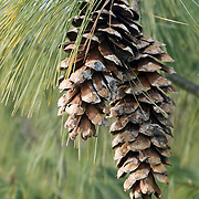 Cones from Himalayan White Pine Tree