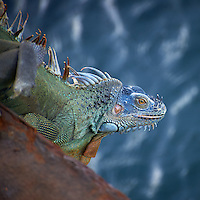 Marine or Sea Iguana along the Dock in Puerto Limon, Costa Rica. Image taken with a Nikon D3s and 70-300 mm VR lens (ISO 400, 240 mm, f/5.6, 1/250 sec).