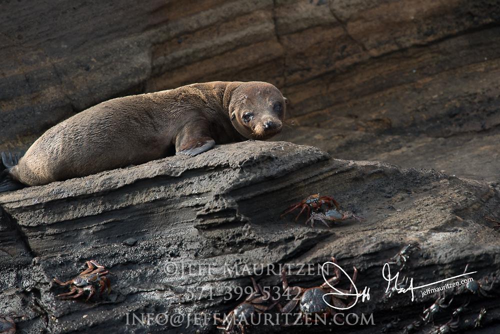 Galapagos Fur sea lion at Punta Vicente Roca on Isabella island in the Galapagos.