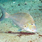 Sheepshead Porgy hover above reefs and adjacent sand areas in Tropical West Atlantic; picture taken Blue Heron Bridge, Palm Beach, FL.