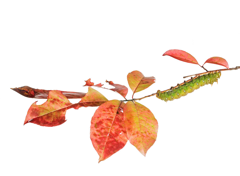 Imperial Moth caterpillar (Eacles imperialis) on Sourwood (Oxydendrum arboreum) leaves in fall.