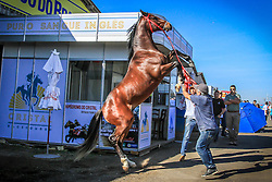 Cavalo Puro Sangue Inglês durante 38ª Expointer, que ocorrerá entre 29 de agosto e 06 de setembro de 2015 no Parque de Exposições Assis Brasil, em Esteio. FOTO: Vilmar da Rosa/ Agência Preview