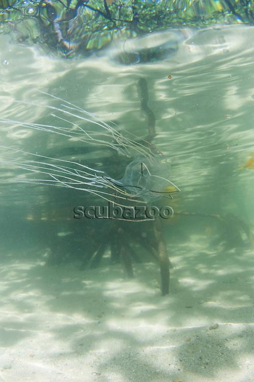 Box jellyfish, Tripedalia cystophora, swimming in the mangrove swamp, Gaya Island Resort, Gaya Island, Sabah, Malaysia.