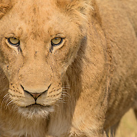 Lioness (Panthera leo). Ngamiland, Botswana.