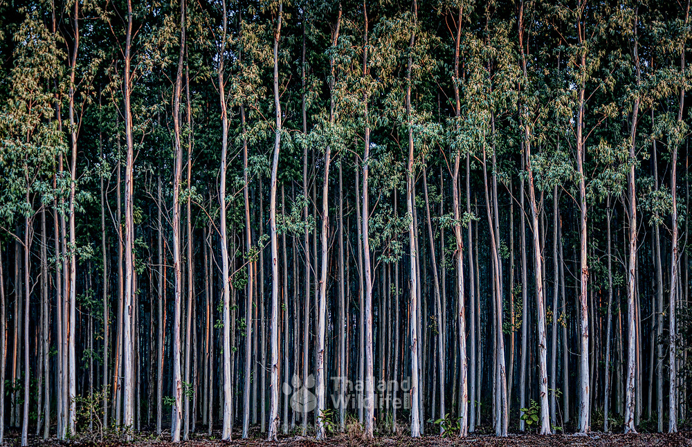 Monoculture is the agricultural practice of producing or growing a single crop, plant, or livestock species, variety, or breed in a field or farming system at a time.  The monoculture farming of eucalyptus trees removes the habitat of many wild animals and is a factor in biodiversity reduction in Thailand.