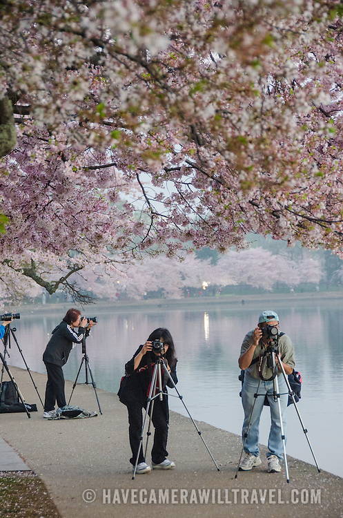 Photographers use tripods to capture the cherry blossoms in Washington DC just before sunrise. The Yoshino Cherry Blossom trees lining the Tidal Basin in Washington DC bloom each early spring. Some of the original trees from the original planting 100 years ago (in 2012) are still alive and flowering. Because of heatwave conditions extending across much of the North American continent and an unusually warm winter in the Washington DC region, the 2012 peak bloom came earlier than usual.