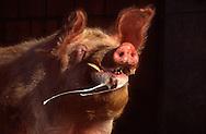 DEU, Deutschland: Hausschwein (Sus Scrofa f. domestica), erregter Eber schlägt seine Backen hurtig aneinander, erzeugt mit Pheromonen angereicherten schaumigen Speichel, so duldet die Sau die Paarung, Seedorf, Schleswig-Holstein | DEU, Germany: Domestic pig (Sus scrofa f. domestica), excited boar slapping it jaws again each other producing frothy spittle, enriched with pheromones which let the sow tolerate the copulation, Seedorf, Schleswig-Holstein |
