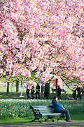 © Licensed to London News Pictures. 10/04/2014. London, UK. A man sits on a bench.  People walk and play amongst the pink cherry blossom in bright sunshine at Greenwich Park in London today, 10 April 2014,The weather forecast is set to be brighter and warmer over the coming days.Photo credit : Stephen Simpson/LNP