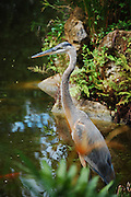 This is a photograph of a Great Blue Heron at the Morikami Museum in Delray Beach, Florida.