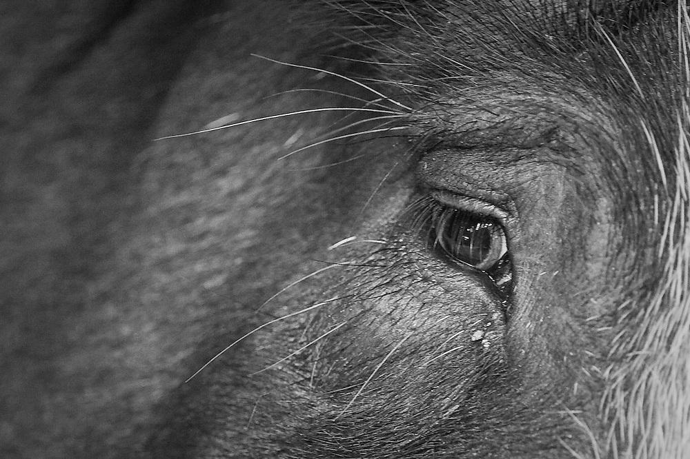 Berkshire pig eye