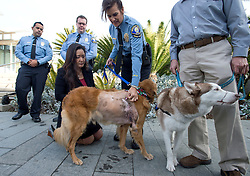 December 14, 2016 - Newport Beach, California, USA - Valerie Schomburg, animal control supervisor, shows where a tumor was found in Henry as Patriot, a Siberian Husky, stands by after during an animal cruelty press conference in Newport Beach, California, December 14, 2016...Henry, a 7-year-old golden retriever suffering from a 42-pound malignant tumor, was abandoned at an animal hospital by his owner, who is accused of claiming she found the dog at a beach...Patriot has scars from a previous owner who tied a metal wire around his nose to keep him from barking...The Newport Beach Police Department,  Animal Control, Orange County District Attorney's Office, Orange County Society for the Prevention of Cruelty to Animals (OCSPCA), and Supervisor Michelle Steel held a news conference tomorrow to discuss the consequences of animal cruelty and the resources available to citizens who find themselves unable to provide care for their pets due to various circumstances. ..(Photo by Jeff Gritchen, Orange County Register/SCNG) (Credit Image: © Jeff Gritchen/The Orange County Register via ZUMA Wire)