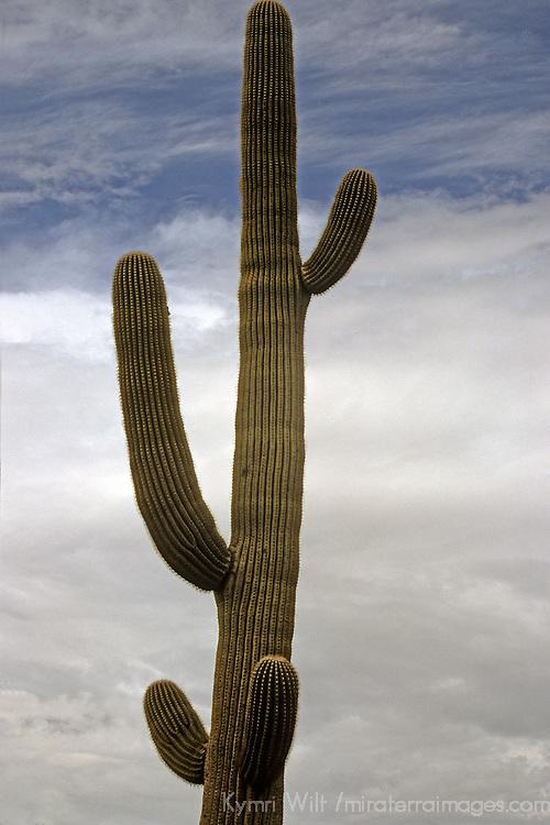 USA, Arizona, Tucson. Saguaro National Park (East). Mature Saguaro Cactus