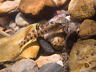 Coosa Darter<br />