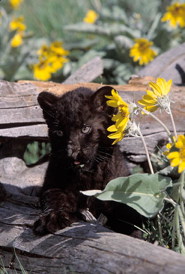 Black Panther, (Panthera pardus)  Young cub. Captive Animal.