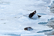 Canvasbacks, Aythya valisineria, male & female frozen to ice, Detroit River, Ontario, Canada