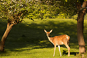 UNITED KINGDOM, Richmond Park: 14 May 2019 <br /> A red deer walks through Richmond Park this morning as the sun rises on another fine day of weather across The UK. Temperatures are set to reach 19C in the capital and potentially higher in the Midlands.