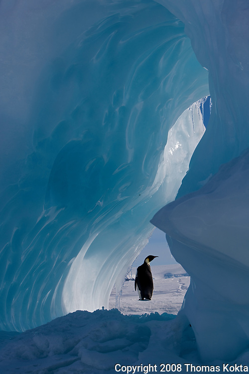 Emperor penguin framed by ice.