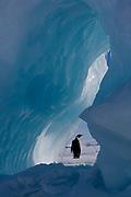 Emperor penguin framed by ice.
