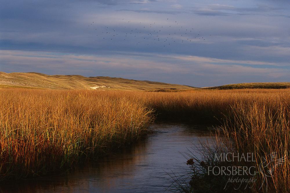Red-Winged Blackbirds fly over Blue Creek in the Nebraska Sandhills.