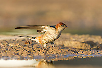 Greater-Striped Swallow lifting wings to take to flight, De Hoop Nature Reserve, Western Cape, South Africa