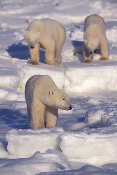Polar Bear, (Ursus maritimus) Trio. Churchill, Manitoba. Canada.