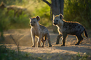 Spotted hyena (Crocuta crocuta) cub at den<br /> Marataba, A section of the Marakele National Park<br /> Limpopo Province<br /> SOUTH AFRICA<br /> RANGE: Southern & East Africa