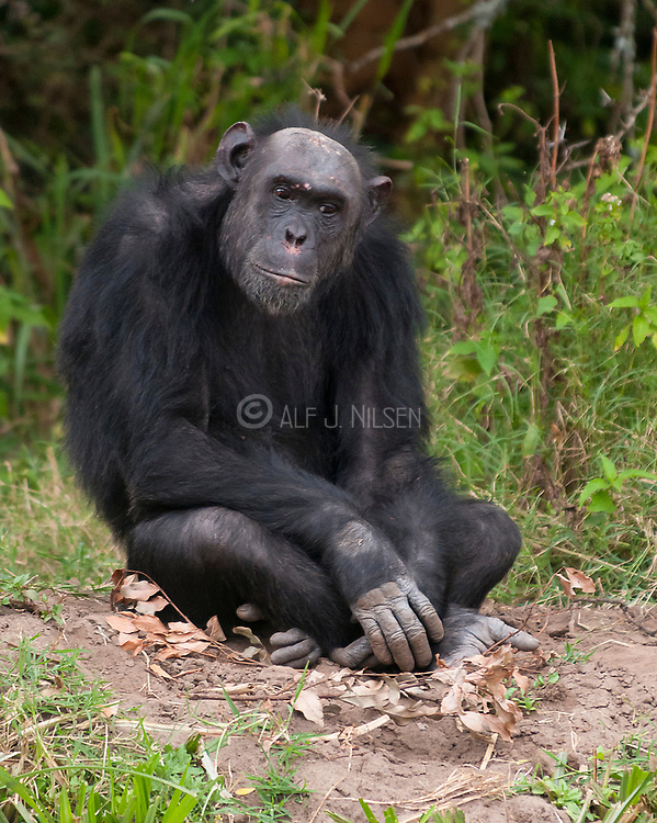 Common Chimpanzee (Pan troglodytes) in Ol Pejeta Conservancy, Kenya.